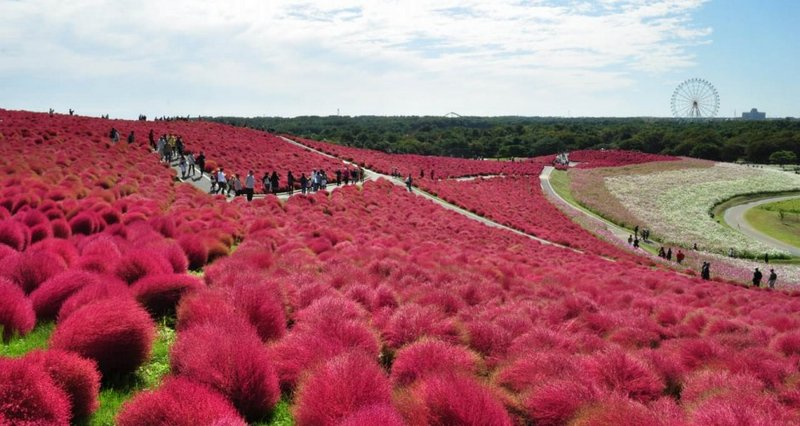 Kochia, парк Hitachi Seaside Park